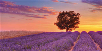 Cuadro canvas lavender field with tree