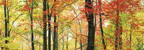 Cuadro canvas autumn maples