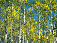 Cuadro canvas aspen trees in autumn