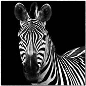 Cuadro canvas zebra square - Cuadros serigrafiados - Objetos de Decoración
