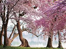 Cuadro canvas cherry trees bloom washington