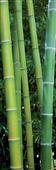 Cuadro Canvas Les Bambous