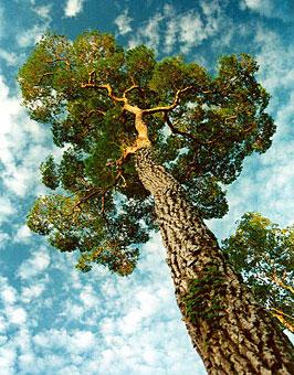 Дерево палисандр