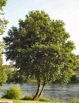 Ольха дерево