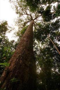 Дерево Балау
