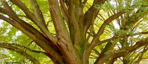 Arbol de madera de zebrano