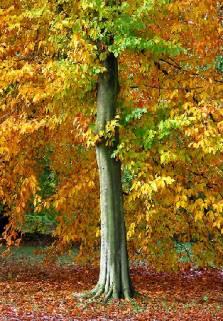 Древесина клена
