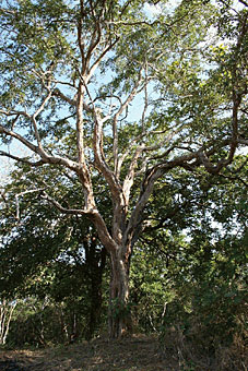 Эбенового дерева