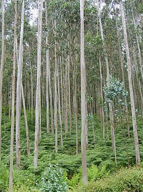 Árbol y madera de eucalipto